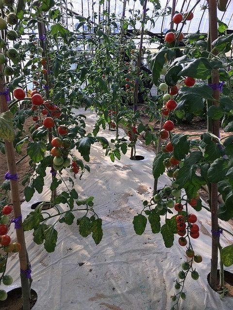潮彩トマト